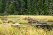 Beaver lodge, Algonguin Park